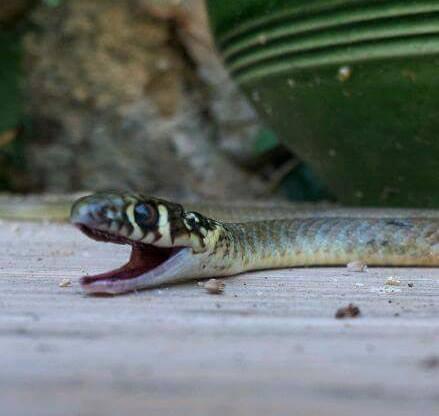 Serpent - Couleuvre - Allégorie